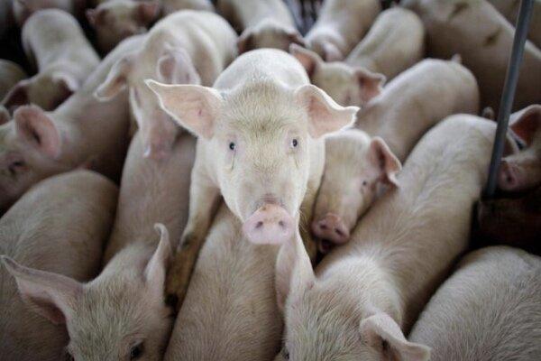نوع جدیدی از آنفولانزای خوکی کشف شد