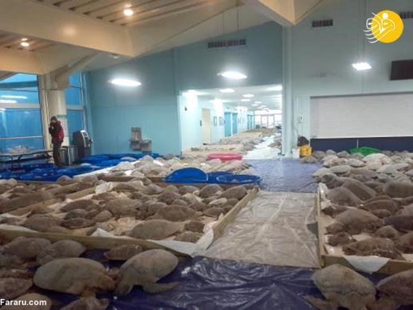 (ویدئو) عملیات نجات هزاران لاک پشت از سرما