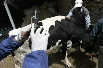 واکسیناسیون 50 هزار راس دام سنگین در استان مرکزی علیه بیماری لمپی اسکین